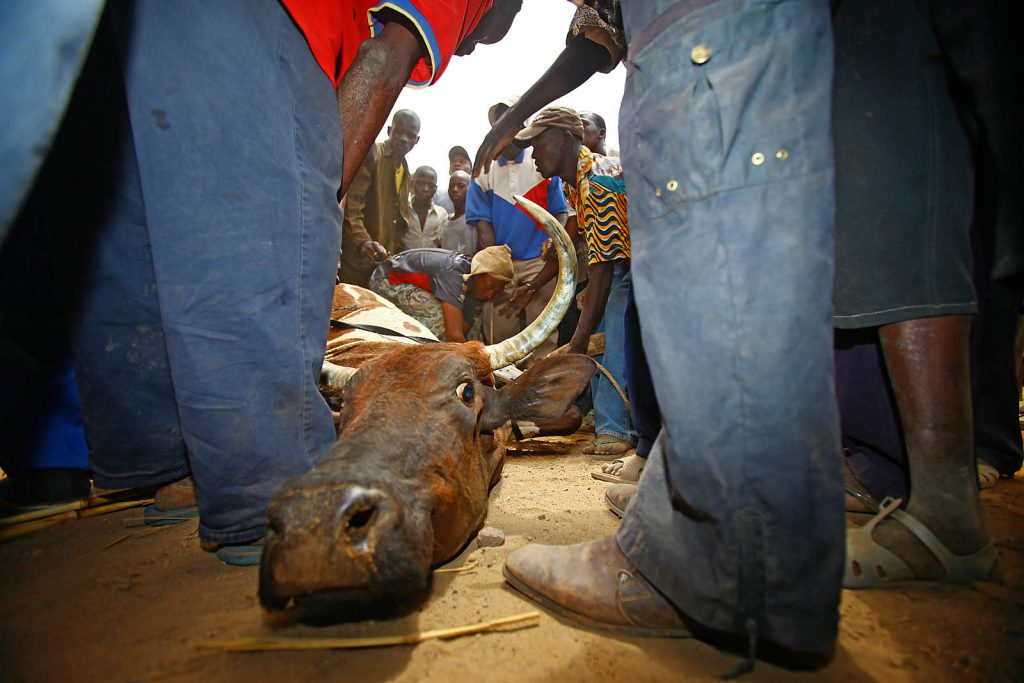 Animal sacrifice is a regular part of any important ritual.