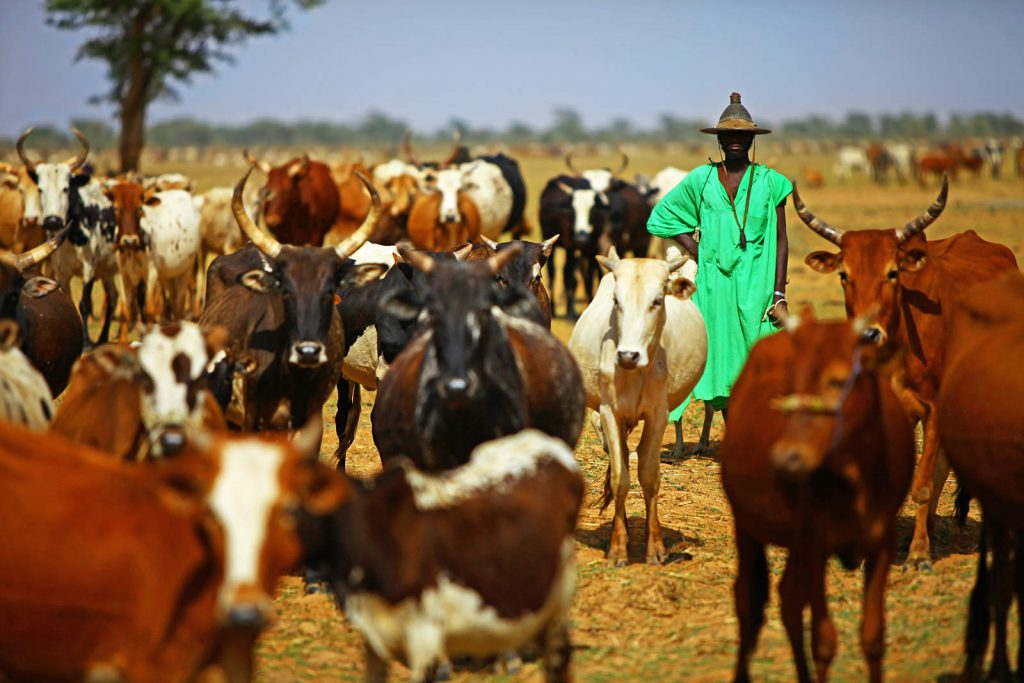 Pastoral Fulani are a semi-nomadic people living along the Niger. Their tradition of increasing the livestock herd size in order to demonstrate wealth is resulting with overgrazing – one of the main causes of desertification and climate change in the Sahel.