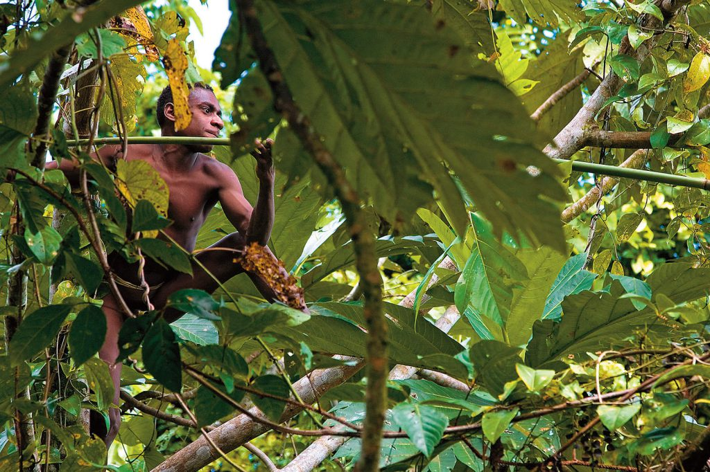 Korowai are skilled climbers. They climb in the canopies when they hunt cuscus, gather breadfruit...